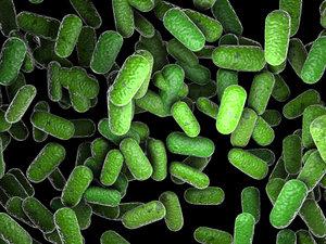 max bacillus
