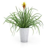 Guzmania Plant