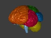 human brain max