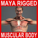 MAYA RIGGED Male Body, Muscular & Skeletal Systems Anatomy 3D Model