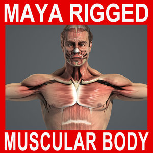 3d model rigged male body muscular