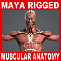 maya rigged male muscular anatomy