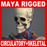 MAYA RIGGED Circulatory & Skeletal Systems Anatomy 3D Model