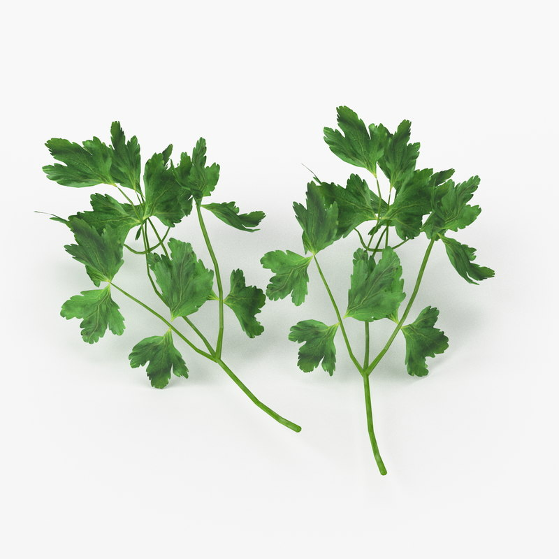 3d model of realistic parsley real vegetables