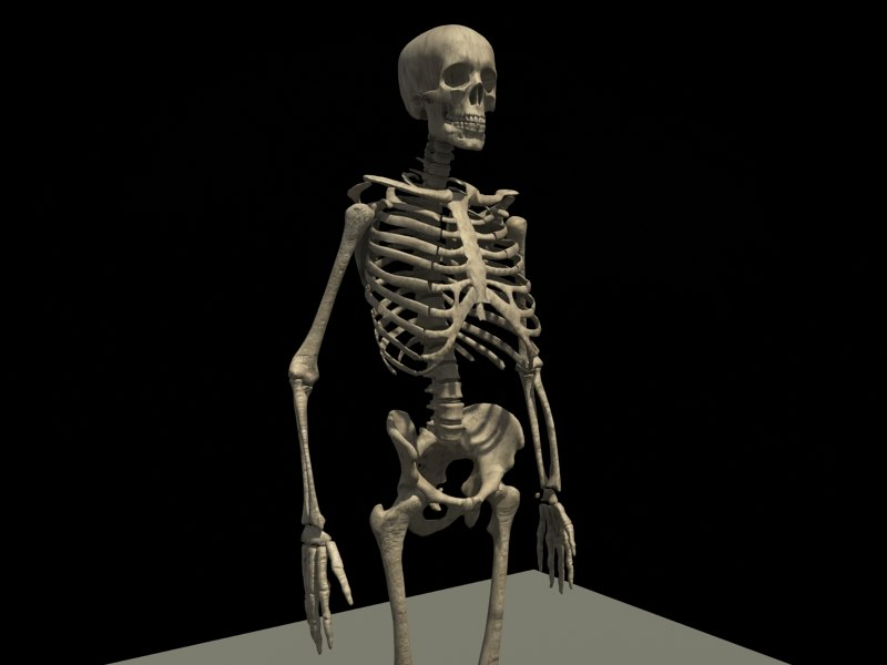 anatomical skeleton anatomy 3d max