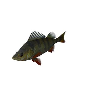 3d model perch fish