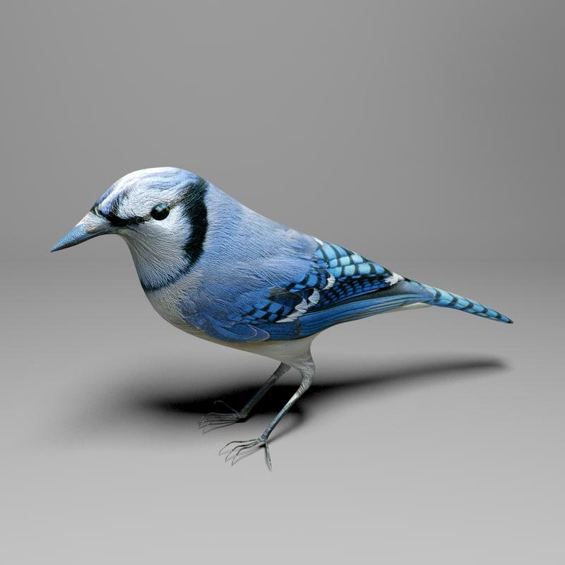 blue jay 3d model