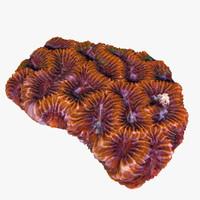 max platygyra coral