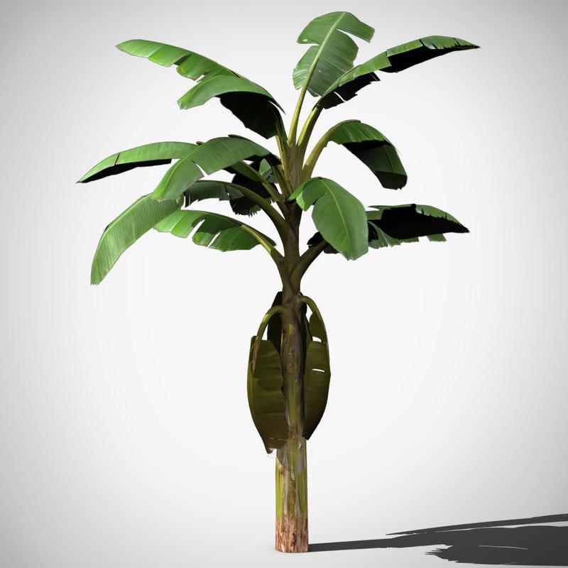 max banana tree