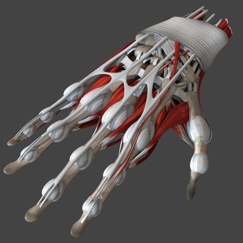 Model Of Anatomy Human Hand