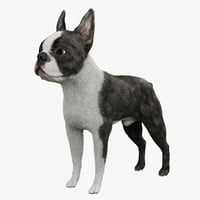boston terrier fur 3d model