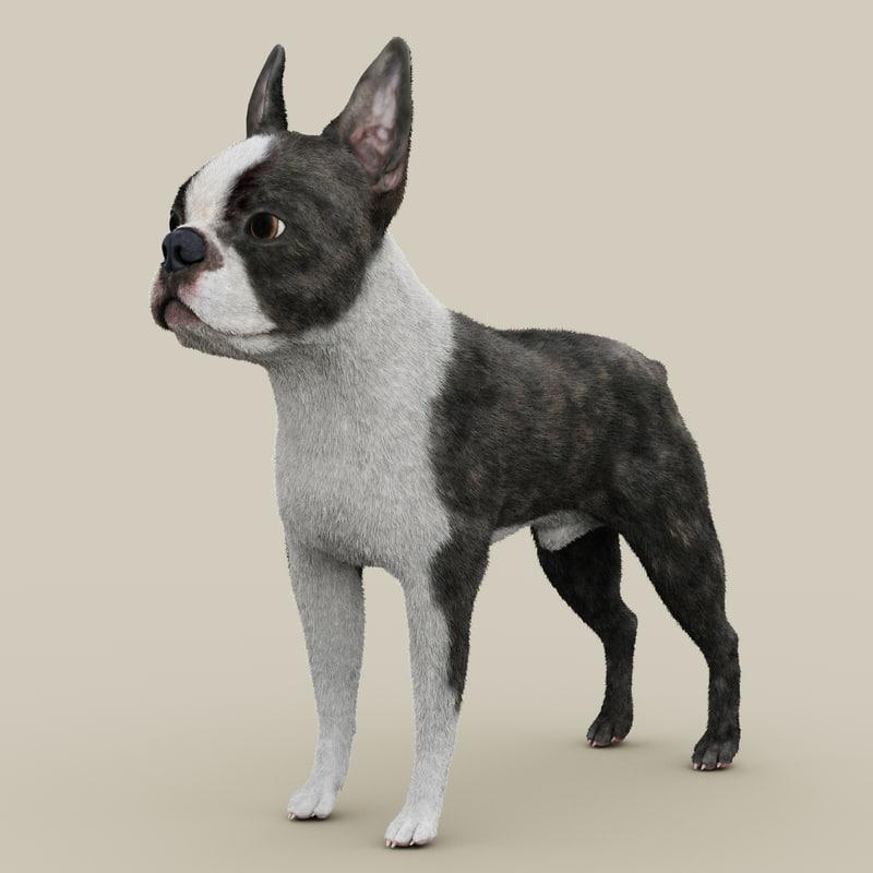 boston terrier fur 3d model
