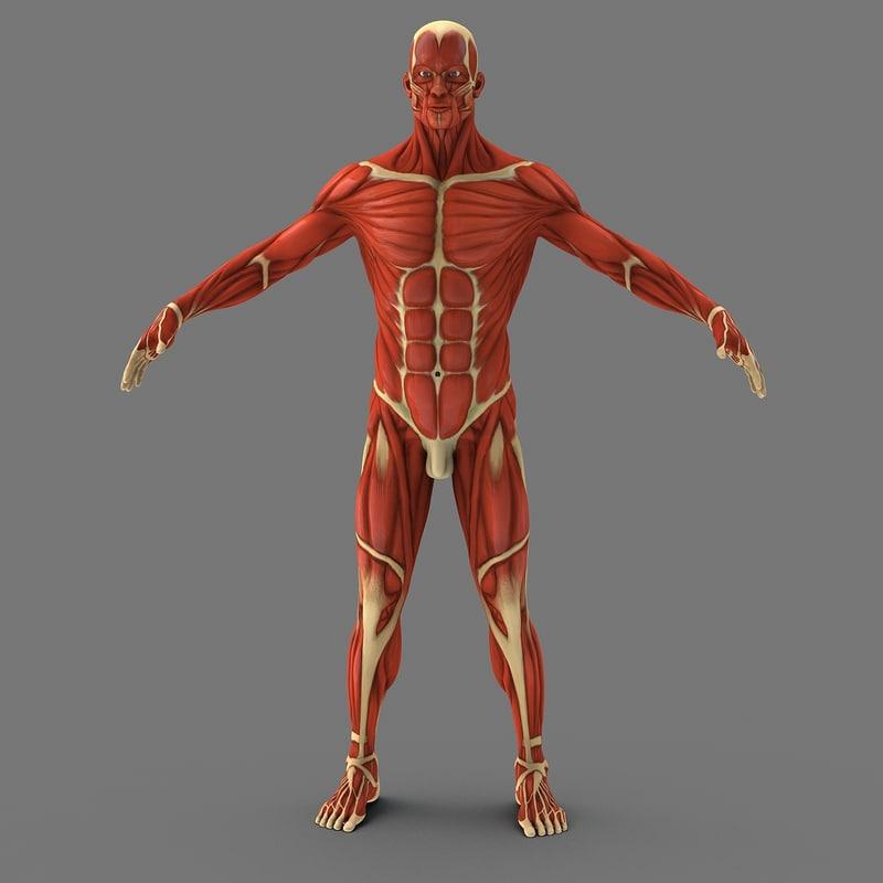 3d model muscular human