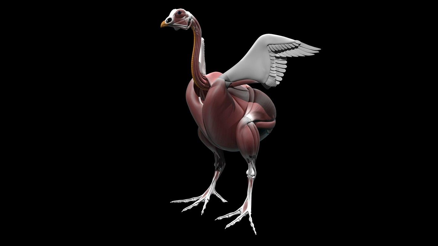 3d study anatomy chicken bird