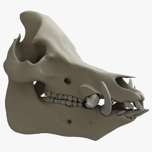 boar teeth max