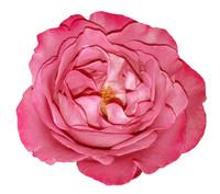 pink rose1