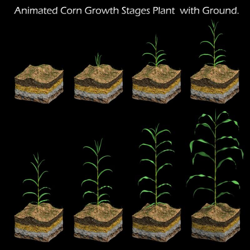 corn growth 3d model