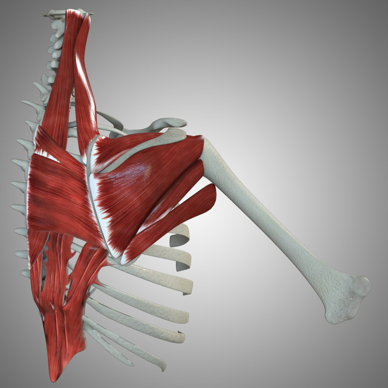 scapular muscles max