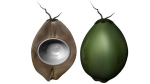 coconut cocos 3d obj