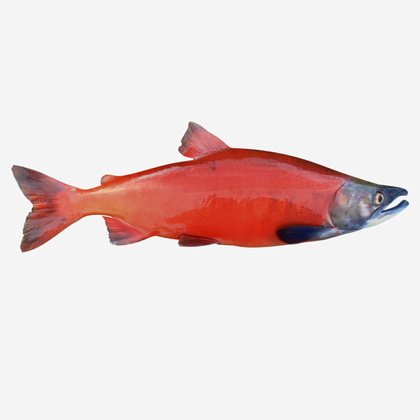 3d model sockeye salmon