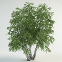 3d realistic birch model