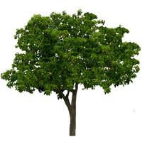 Sea trumpet tree, Cordia Subcordata