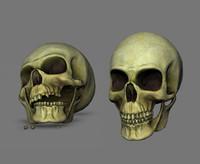 Skull Cranium