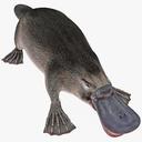 Platypus 3D models
