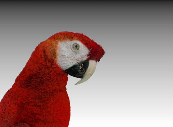 3d red macaw parrot model