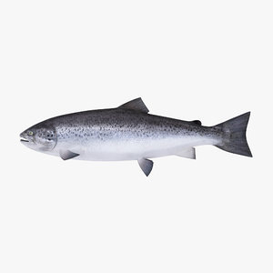 maya atlantic salmon
