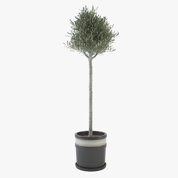 3d max ornamental young olive tree