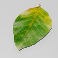 beech european fagus sylvatica 3d model