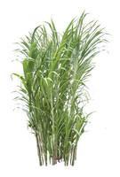 Sugar Cane, Saccharum Oficinarum