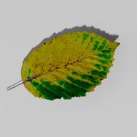 maya hornbeam tree landscape leaf