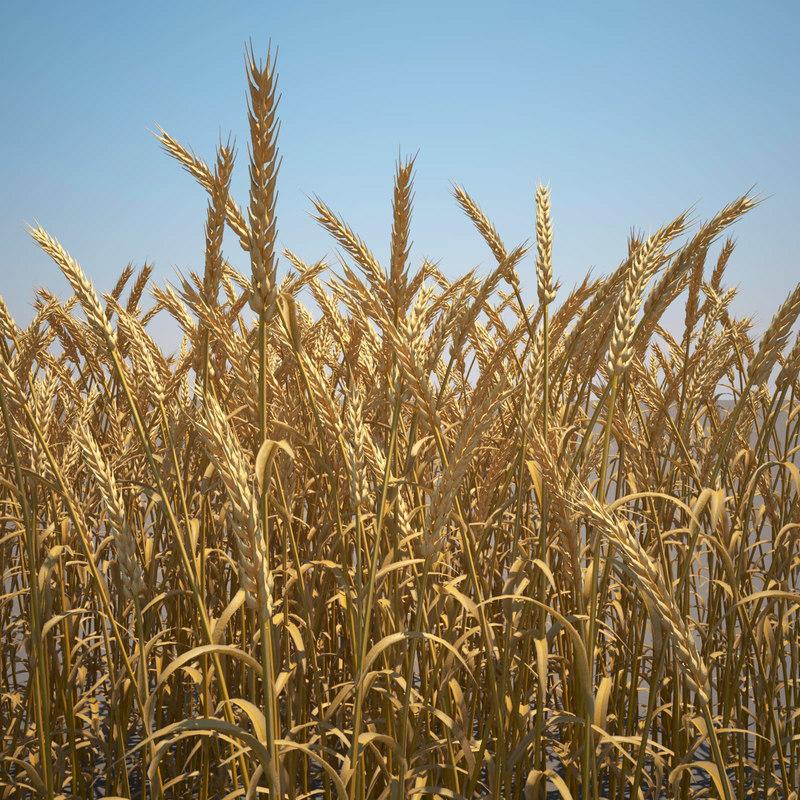 3d max common wheat