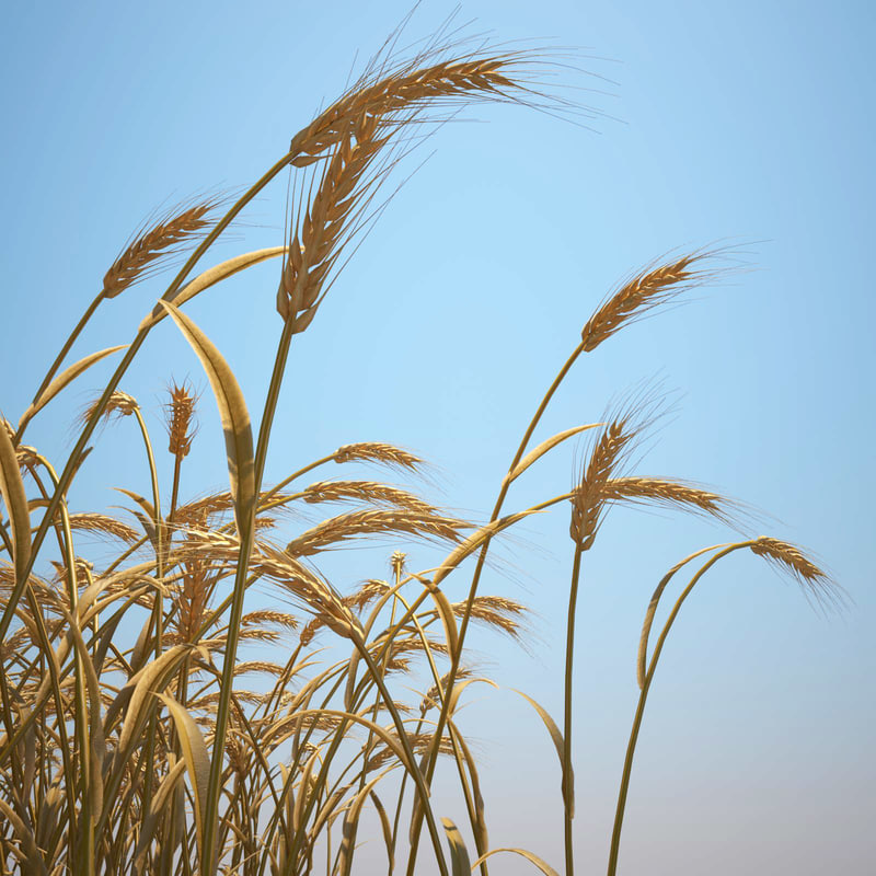 emmer wheat 3d model
