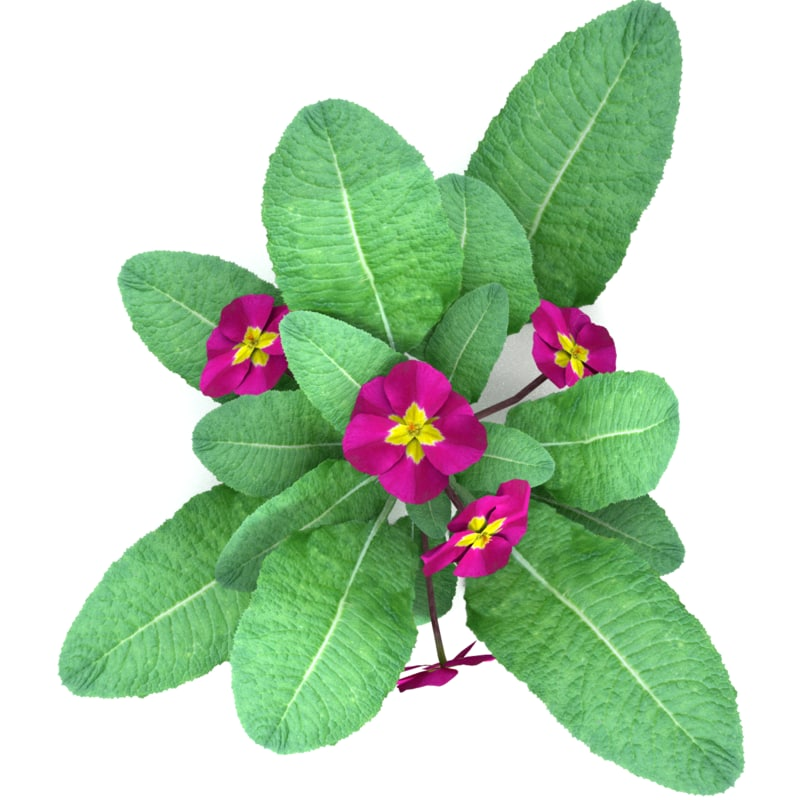3d model of realistic primula