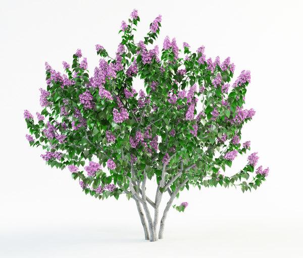 flowering lilac bush 3d model