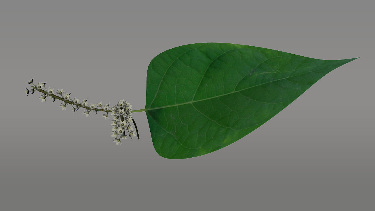 polygonum knotweed herbs 3d model