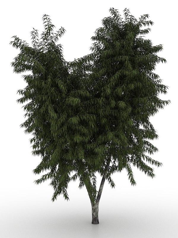 spotted gum eucalyptus tree max