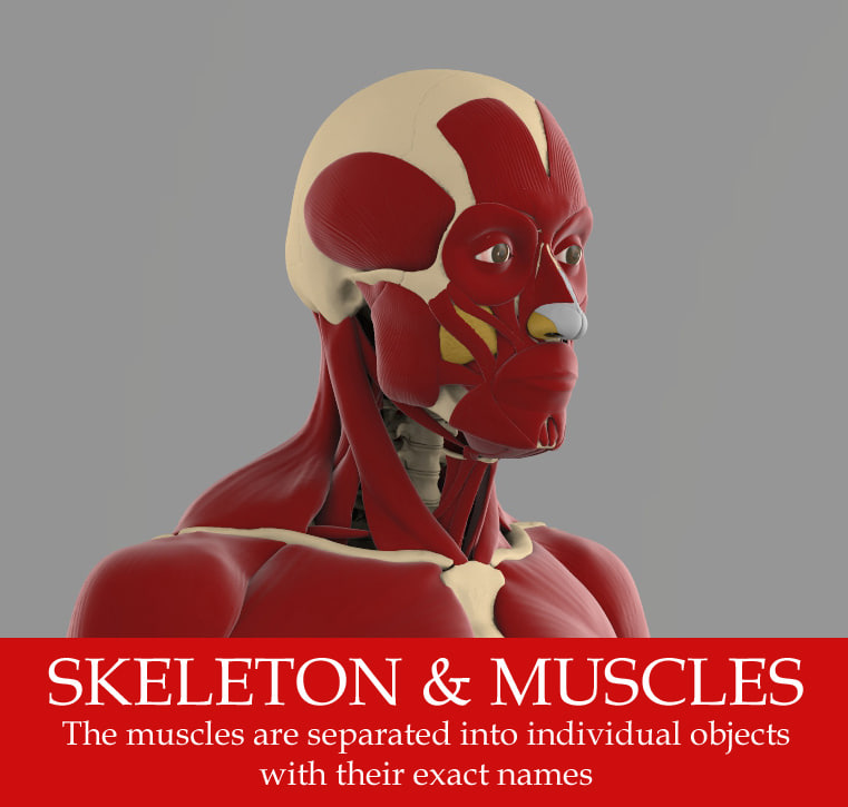 The ecorche Precise anatomy model of human skeleton with all muscles