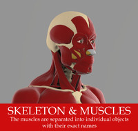 The ecorche Precise anatomy model of human skeleton with all muscles.
