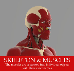 precise human skeleton muscles 3d model
