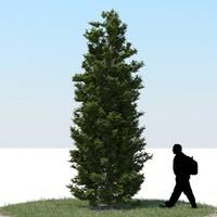 3d realistic thuja tree
