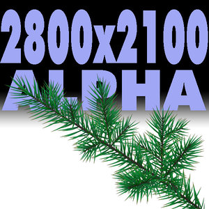 Branch of pine-tree.