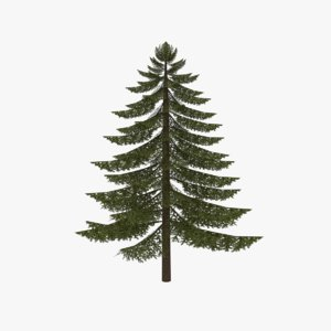 maya fir tree