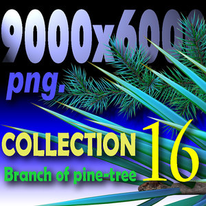 Branch of pine-tree. COLLECTION
