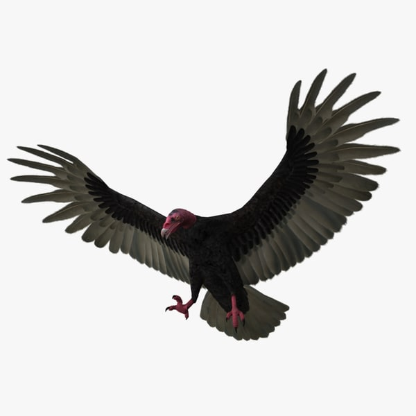 3d cathartes aura turkey vulture