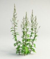 mugwort, common wormwood artemisia vulgaris