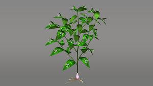 ruscus flowering plants 3d obj